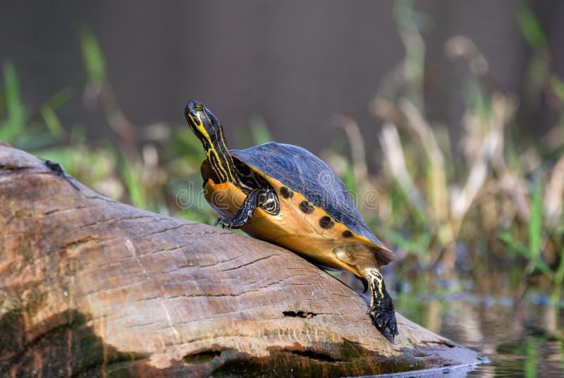 Греясь черепаха слайдера River Cooter на журнале, охраняемой природной территории соотечественника болота Okefenokee стоковые фото