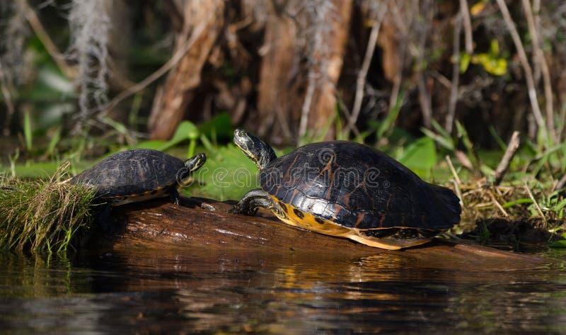 Греясь черепахи слайдера River Cooter на журнале, охраняемой природной территории соотечественника болота Okefenokee стоковые изображения rf
