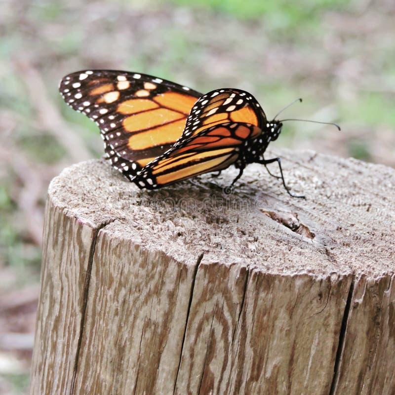 Грея на солнце монарх стоковое изображение