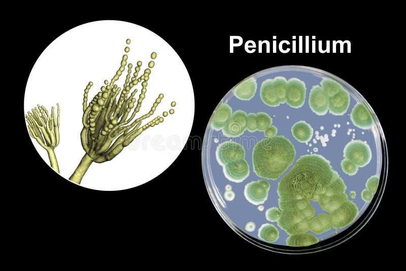 Грибки, иллюстрация и фото прессформы пенициллиума колонии, который выросли на средстве питательного вещества бесплатная иллюстрация