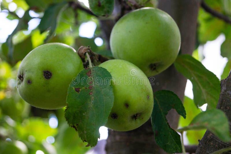 Грибковая инфекция яблок стоковые фотографии rf