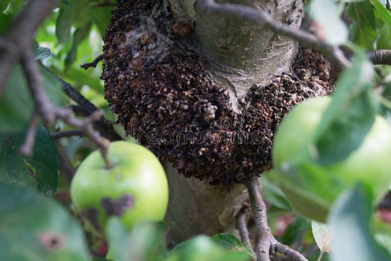 Грибковая инфекция яблок стоковая фотография