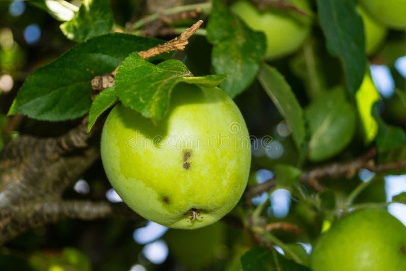 Грибковая инфекция яблок стоковые фото