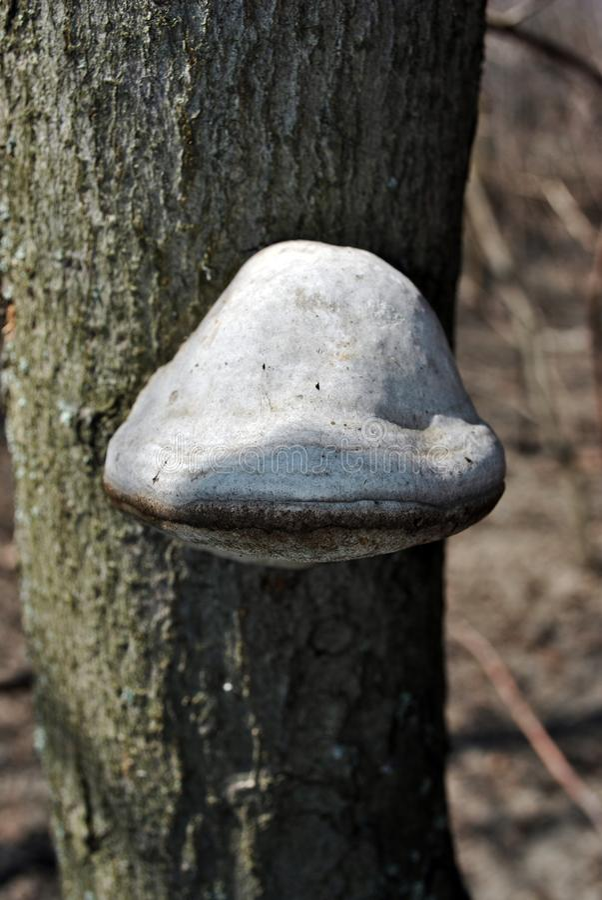 Грибок трута fomentarius Fomes, ложный грибок трута, грибок копыта, conk трута, polypore трута, грибок человека льда растя на хоб стоковые фото