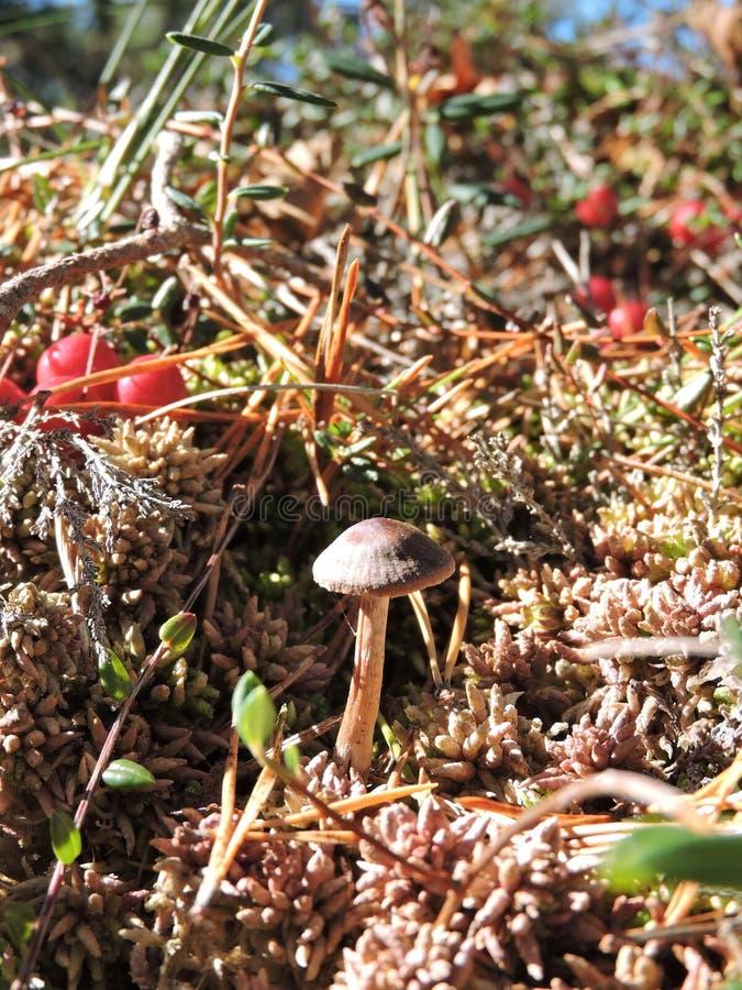 Ореховый белый гриб фото настольных
