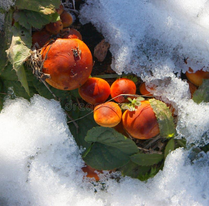 Грибы в зиме. стоковая фотография rf