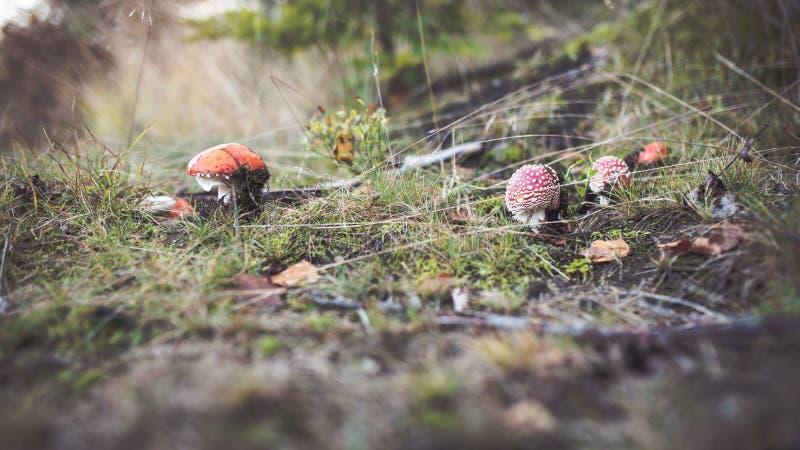 Грибы мухомора спрятанные в траве стоковое фото