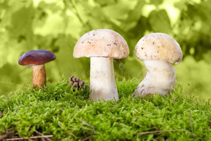 грибы мха стоковые фото