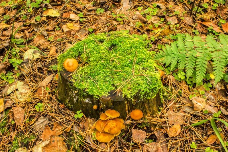 Грибы на старом пне покрытом при мох на том основании предусматриванный при упаденная осень выходят стоковые фото