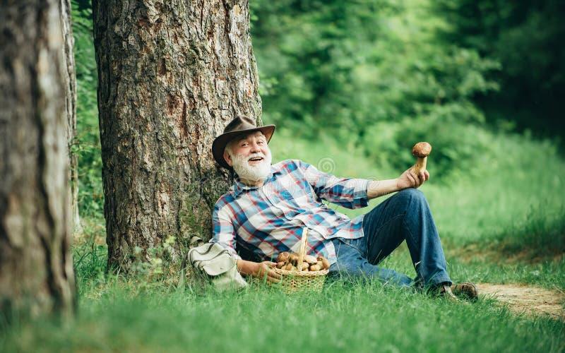 Гриб в лесе, старший человек собирая грибы в деде леса счастливом Собирать грибы в стоковые изображения rf