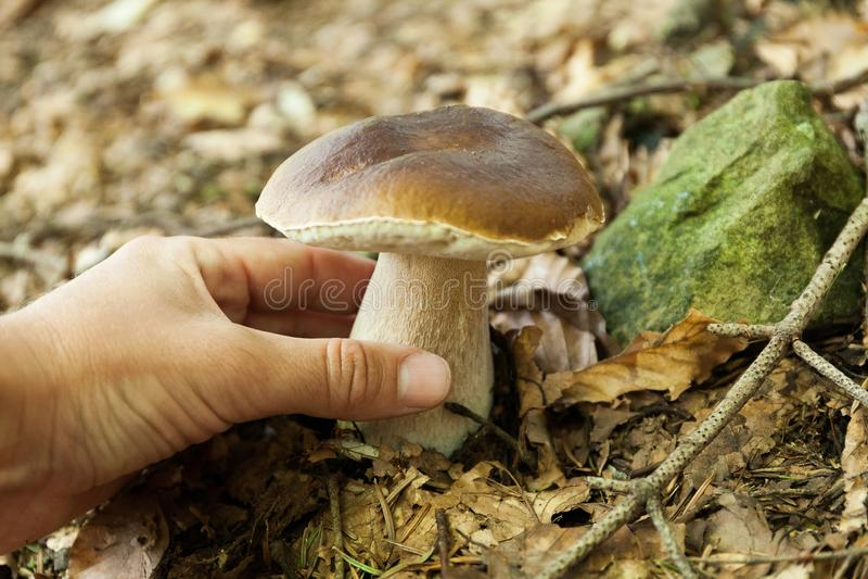 Гриб леса Porcini, подосиновик коричневого цвета осени, крышка Дикая плюшка пенни, CEP стоковое изображение