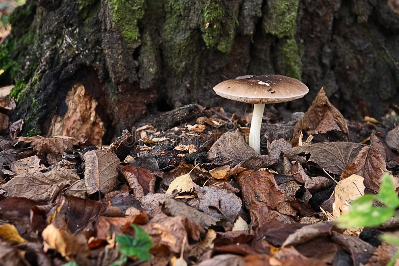 Download гриб листьев стоковое фото. изображение насчитывающей сезон - 6861922