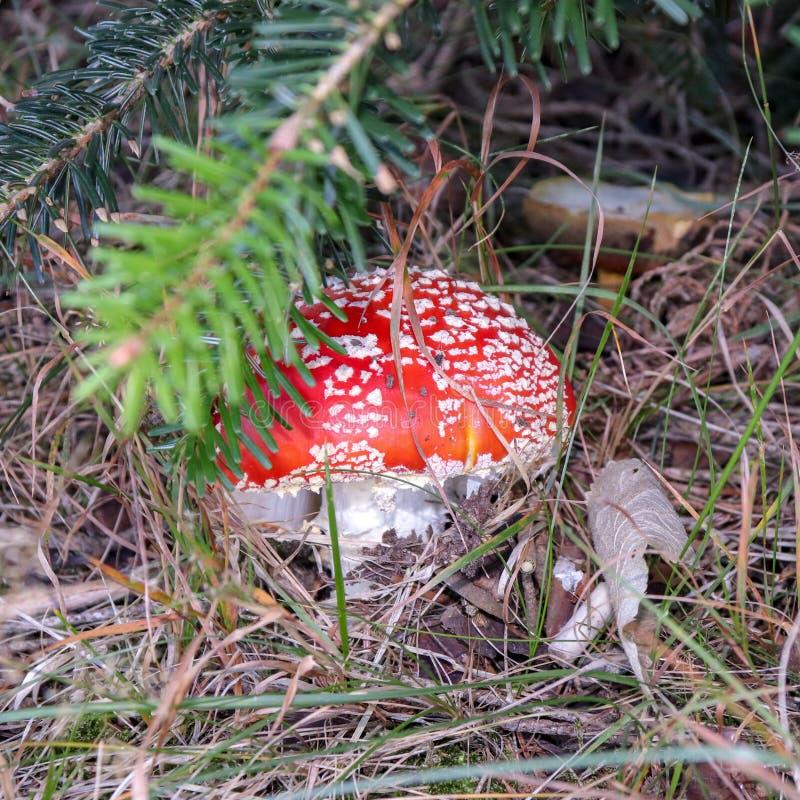 гриб Мух-пластинчатого гриба спрятанный в траве в лесе, крупном плане стоковое фото rf