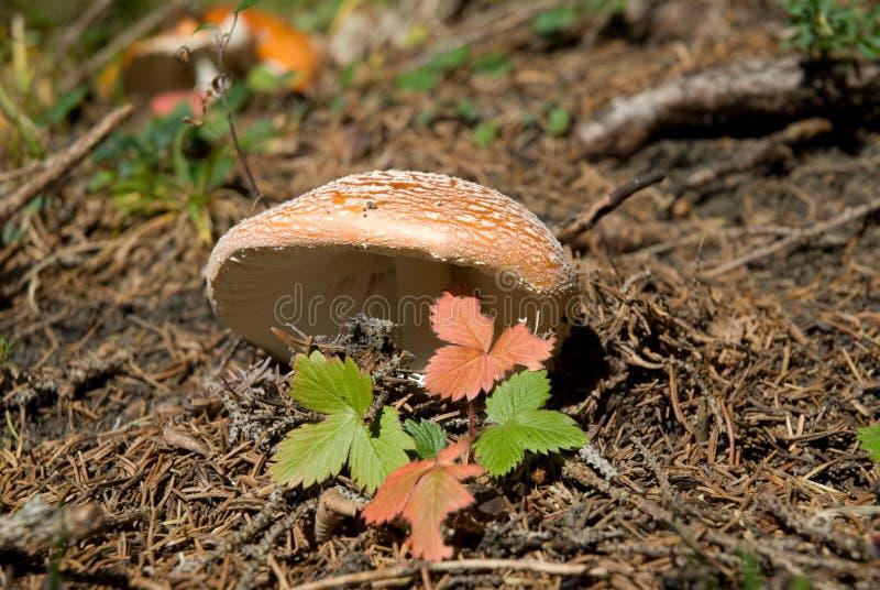 гриб осени стоковые изображения rf