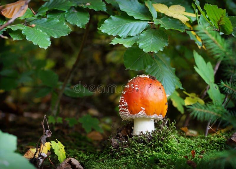Гриб пластинчатого гриба мухы красный в лесе стоковые фото