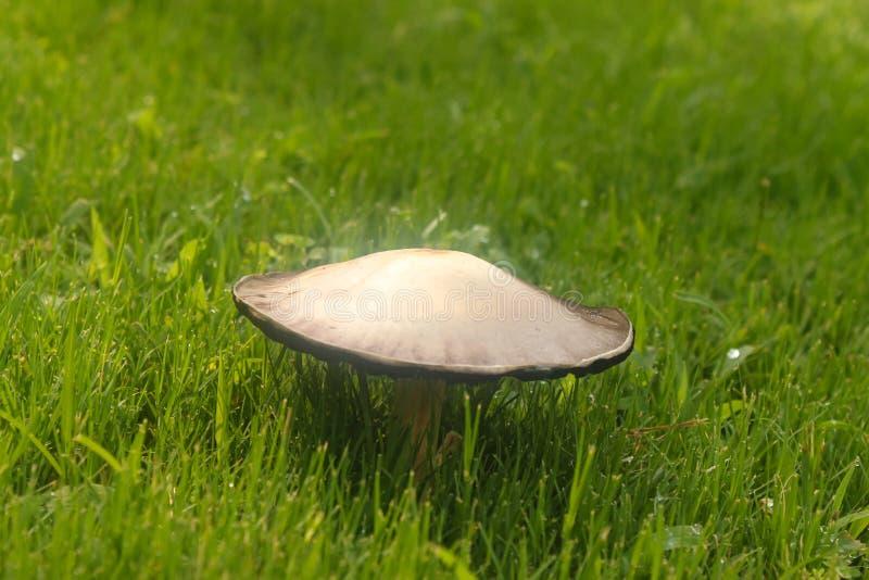 Гриб растя в зеленой траве с капельками воды - селективном фокусе стоковые изображения