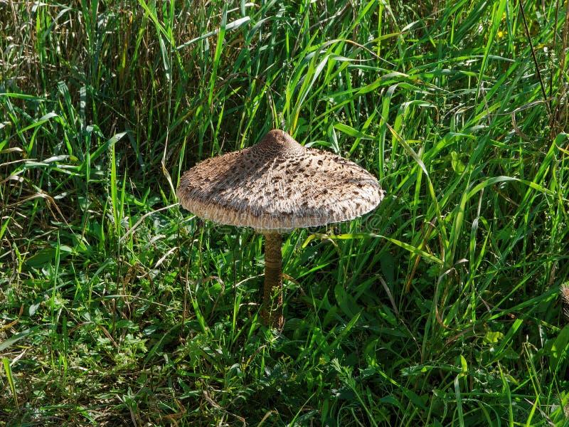 Гриб среди травы на солнечный день стоковое фото