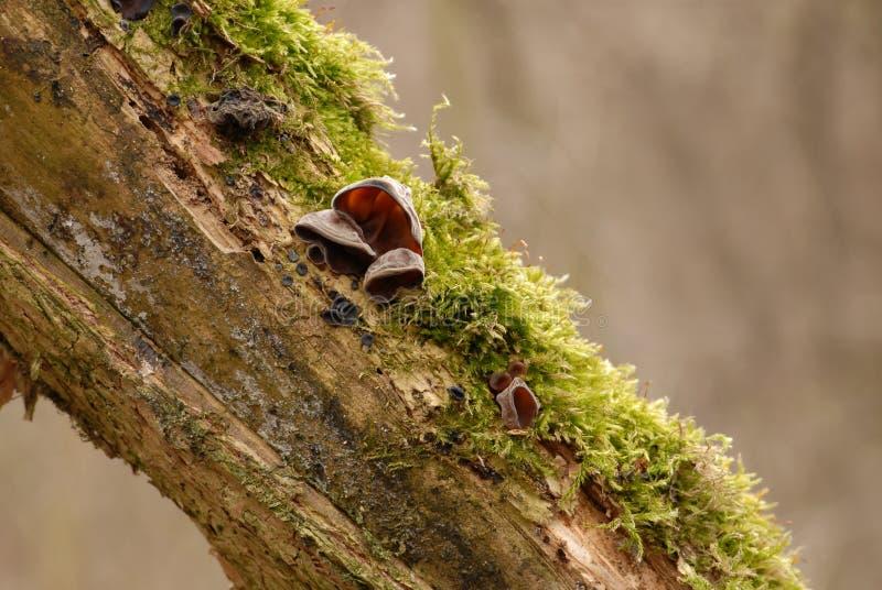 Гриб уха еврея (аврикула-judae Auricularia) стоковое фото