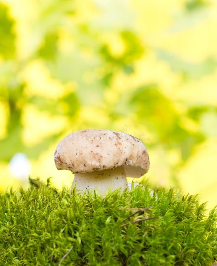 гриб cep стоковые фото