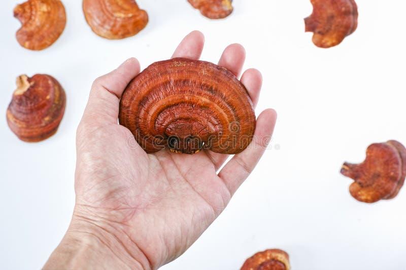 Гриб Ganoderma Lucidum Lingzhi в удерживании руки стоковое изображение