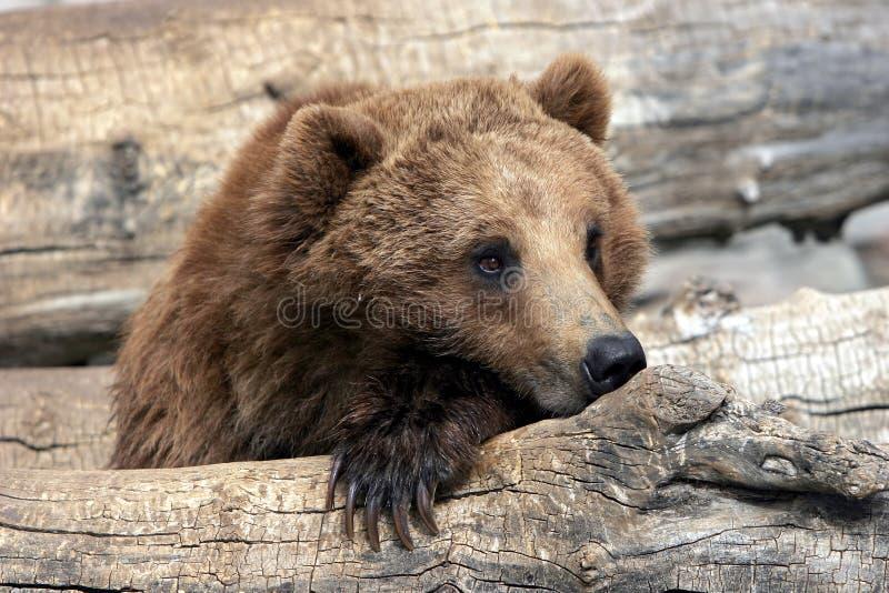 гризли медведя ослабляя стоковая фотография