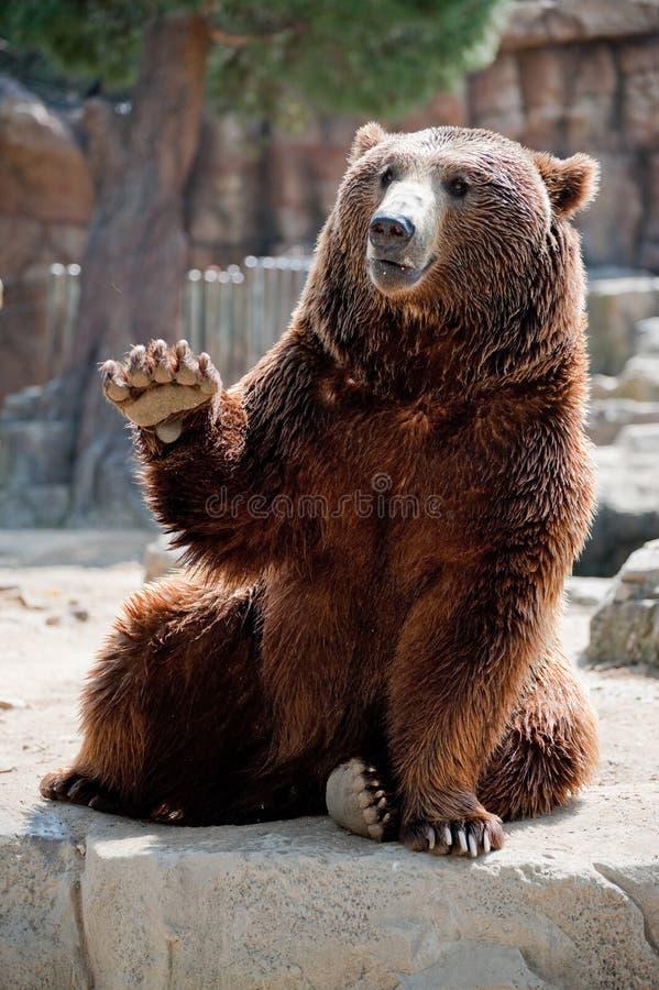 гризли медведя содружественное стоковое изображение