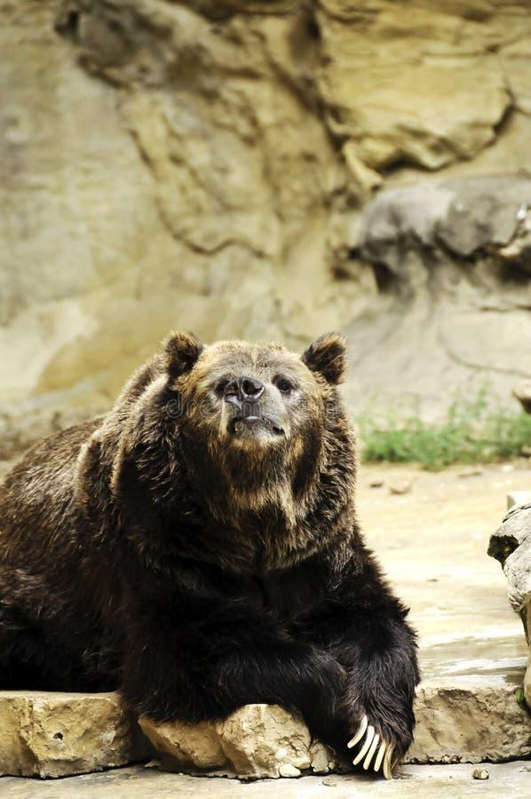 гризли медведя старое стоковая фотография rf
