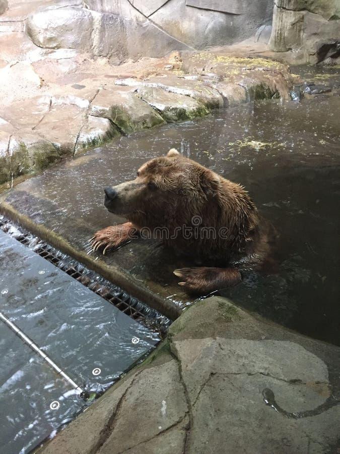Гризли сидя в бассейне с лапками на крае ждать шторм для того чтобы пройти стоковая фотография rf