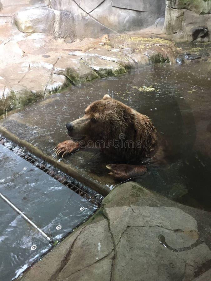 Гризли сидя в бассейне с лапками на крае ждать шторм для того чтобы пройти стоковая фотография