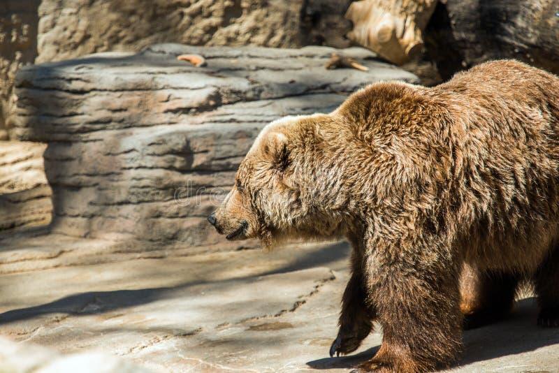гризли медведя старое стоковые фото