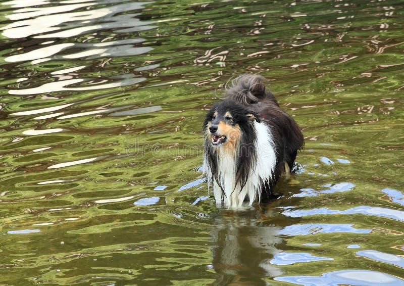 Грубая Коллиа лаяя в воде стоковая фотография