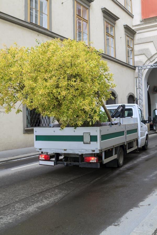 грузовой автомобиль доставляет на выставку фикусное дерево на узкой дорожке стоковое фото