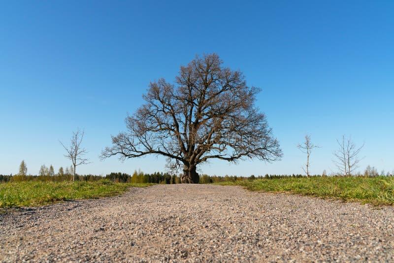 Грунтовая дорога к сиротливому старому дубу без листьев в поле стоковые фото