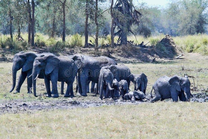 Группа, африканский слон, africana Loxodonta, купая в грязи, южное Luangwa, Замбия стоковая фотография rf