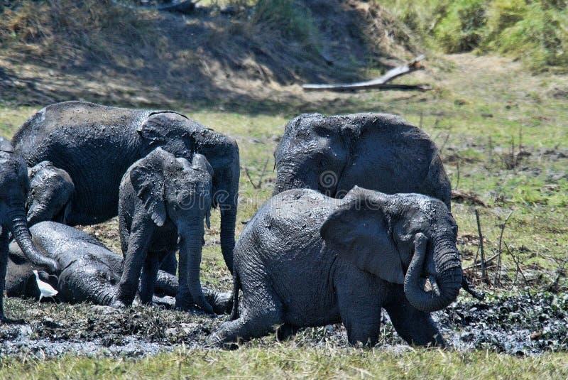 Группа, африканский слон, africana Loxodonta, купая в грязи, южное Luangwa, Замбия стоковые фотографии rf