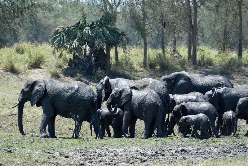 Группа, африканский слон, africana Loxodonta, купая в грязи, южное Luangwa, Замбия стоковые изображения