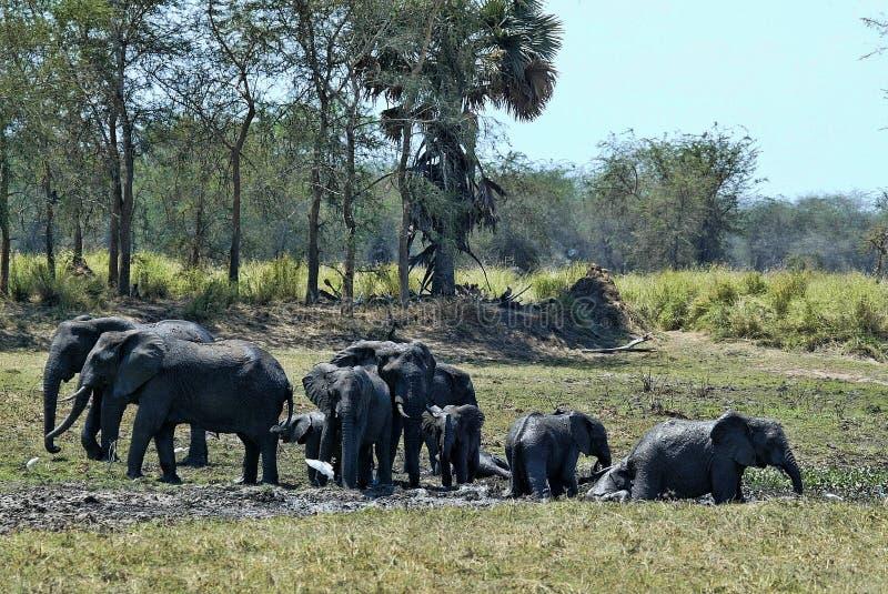 Группа, африканский слон, africana Loxodonta, купая в грязи, южное Luangwa, Замбия стоковое изображение rf