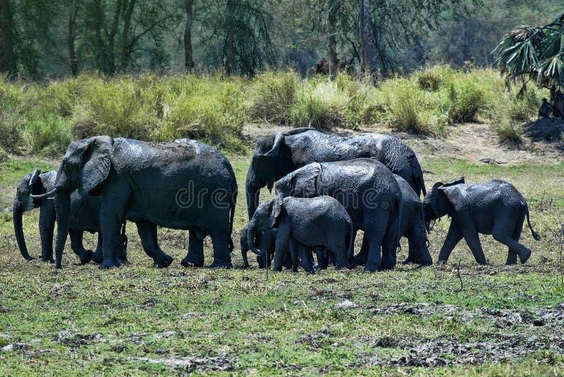 Группа, африканский слон, africana Loxodonta, купая в грязи, южное Luangwa, Замбия стоковое фото rf