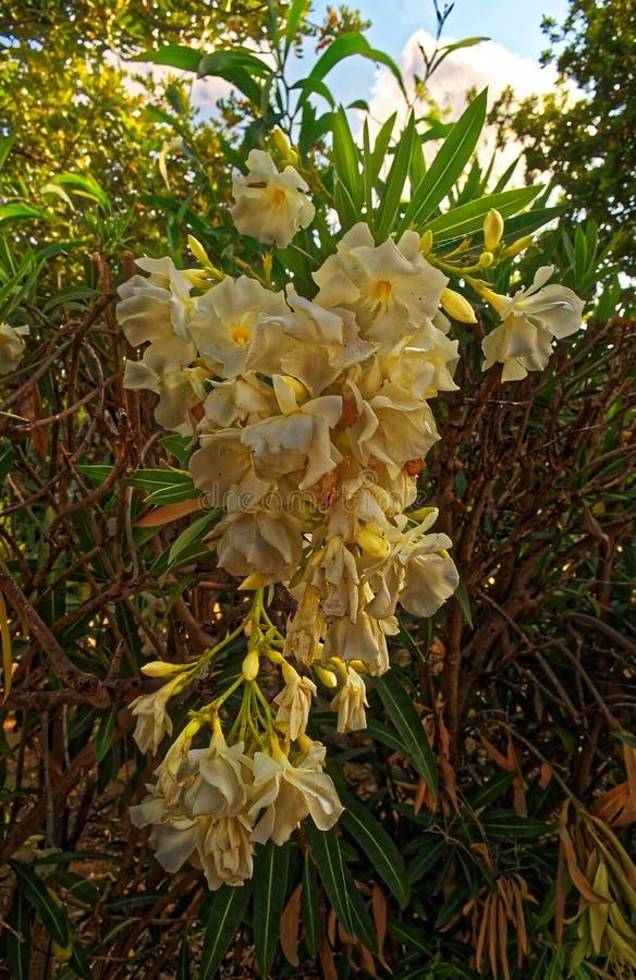 Группа белого цветка в кусте от фронта стоковое фото