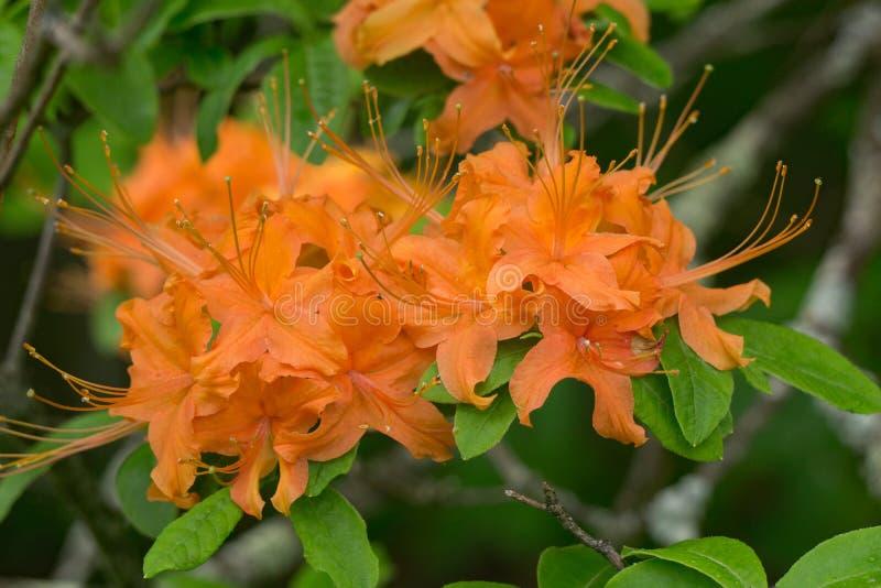 Группа в составе азалия пламени цветет calendulaceum рододендрона †« стоковое фото rf