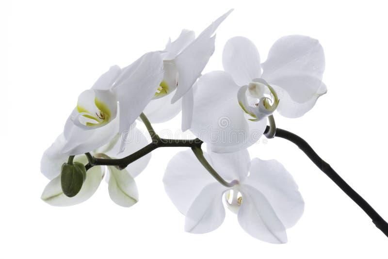 Белая орхидея изолированная на белой предпосылке стоковое изображение rf