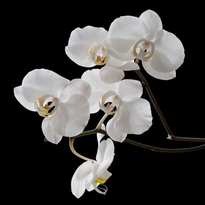 Белая орхидея изолированная на черной предпосылке стоковая фотография rf