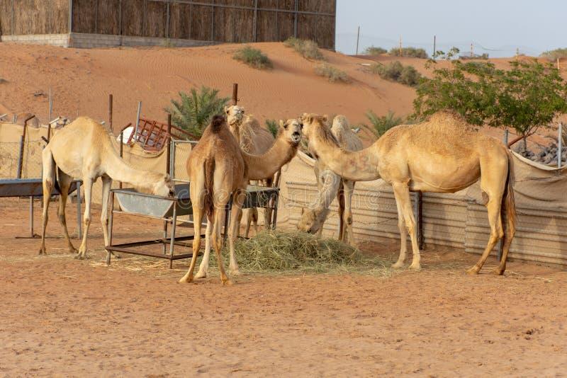 Группа в составе верблюды есть в закрытой ферме стоковая фотография
