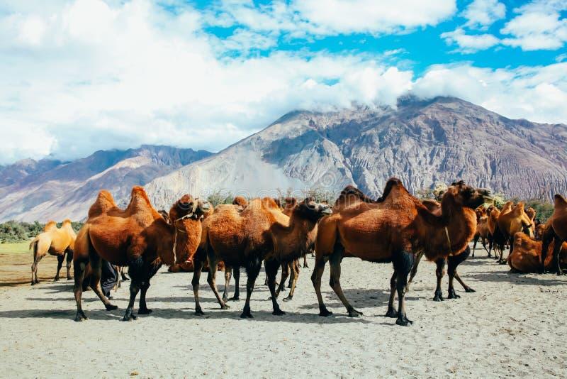 Группа в составе двойные верблюды горба в пустыне в долине Nubra, Ladakh, Индии стоковое фото