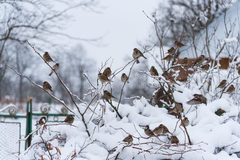 Группа в составе воробьи на покрытом снег кусте, зимнее время, Украина стоковые изображения rf