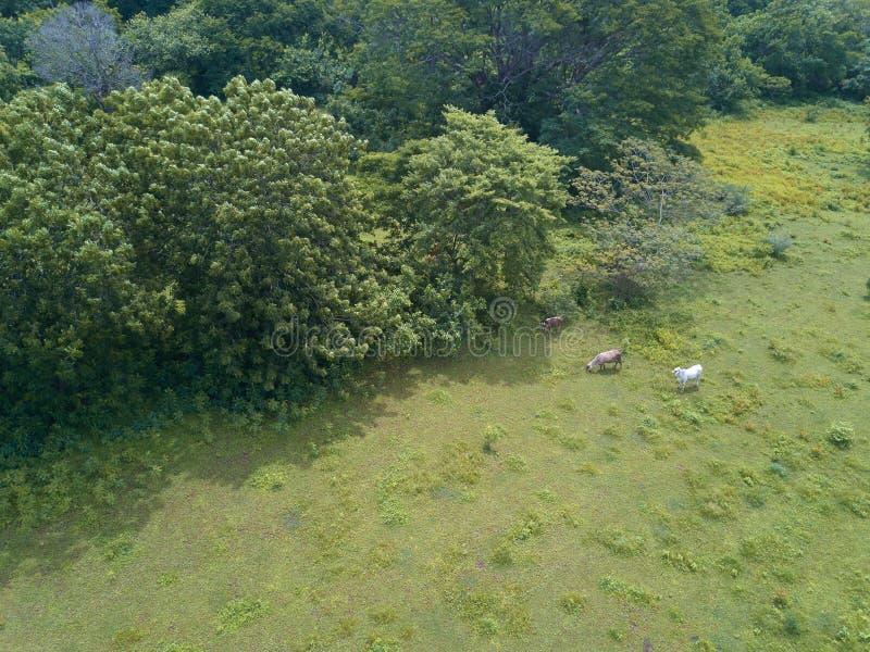 Группа в составе выгон коров на зеленом поле стоковая фотография rf