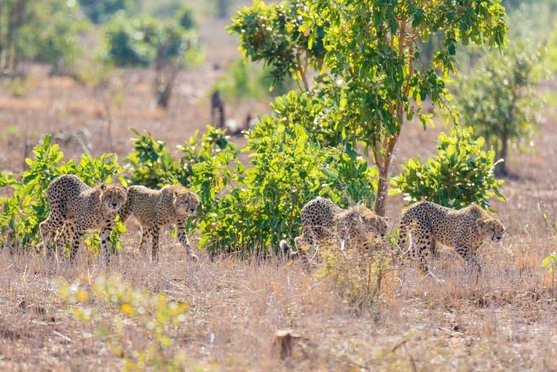 Группа в составе гепард в положении звероловства стоковое изображение rf