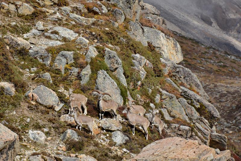 Группа в составе голубые овцы около Lhonak, Непала Трек к Kangchenjunga, Непалу стоковая фотография rf