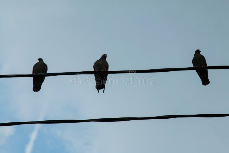 Группа в составе голуби на линии электропередач стоковая фотография