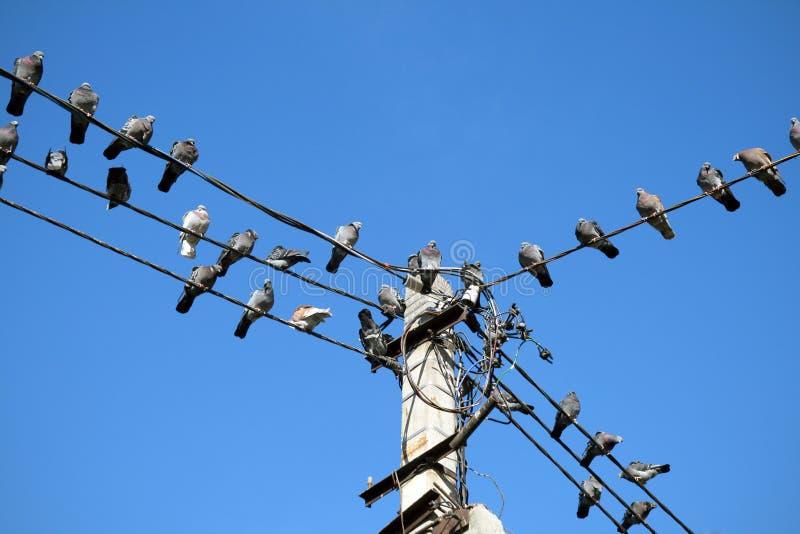 Группа в составе голуби садилась на насест на линии электропередач стоковая фотография